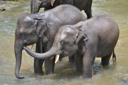 Cute asia elephant taking a bath in river of thailand photo