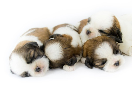 shih: cute puppy dog