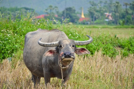 water buffalo in country field of northern thailand southeast asia Stock Photo