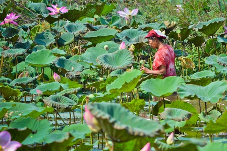 pity: old asian women take lotus in country pond of thailand southeast asia