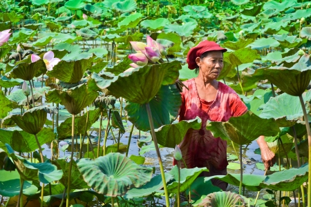 old asian women take lotus in country pond of thailand southeast asia photo