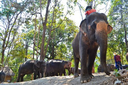 Herd Elephant Of Asia photo