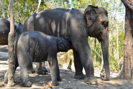 Baby Elephant In Herd Of Asia photo