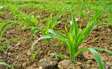 corn plant in farm of thailand southeast asia