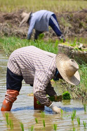 farmer working planting rice in farm of Thailand southeast asia Éditoriale