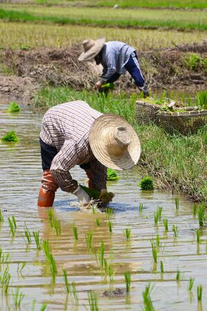 farmer working planting rice in farm of Thailand southeast asia Editorial