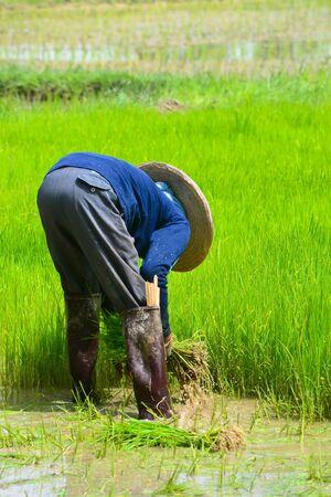 farmer working planting rice in farm