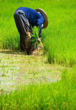 farmer working planting rice in farm