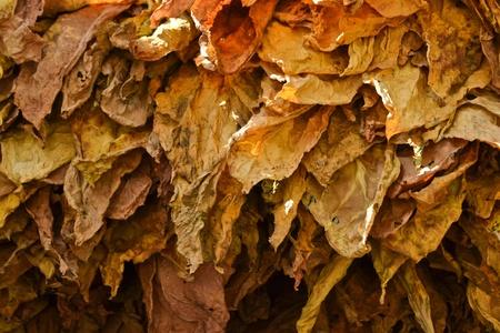 dry tobacco leaf