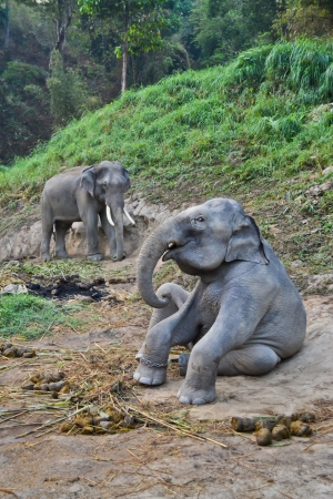 asia elephant flock in camp of thailand Stock Photo