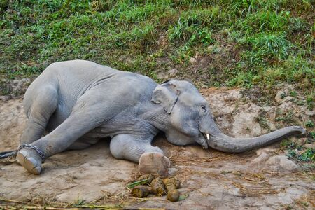 asia elephant in camp of thailand Banco de Imagens