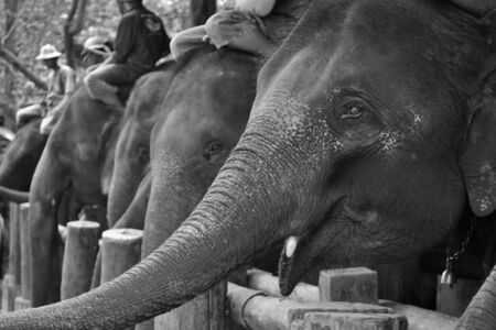 face asia elephant in camp Stock Photo - 15565180
