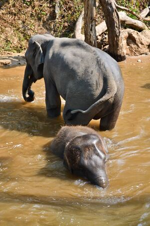 asia elephant flock bathe in camp photo