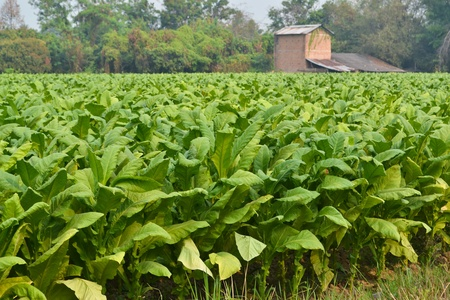 tobacco plants: tobacco plant of thailand southeast asia