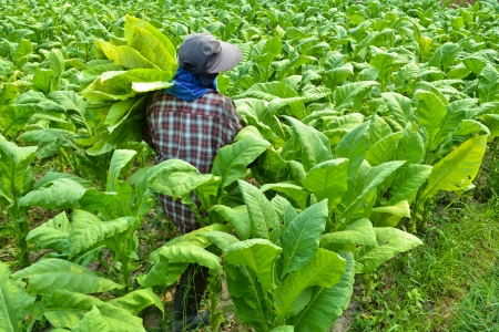 tobacco plant in farm of thailand Stock Photo