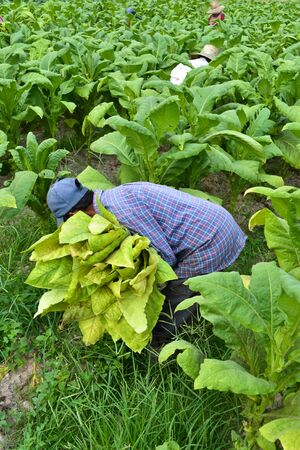 tobacco plant in farm of thailand photo
