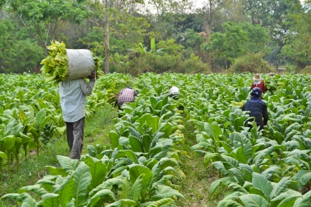 tobacco plant in farm of thailand Banque d'images