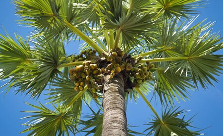 asia sugar palm tree Stock Photo - 15735111