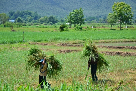 farmer carry grass on shoulder in farm