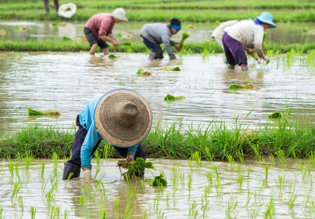 farmer working plant rice in farm of Thailand southeast asia photo