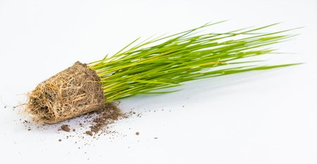 fibrous: rice sprout close up isolated