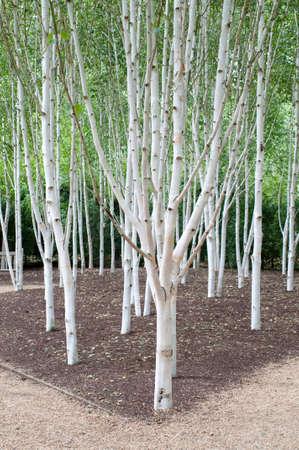 Eine Gruppe von Bäumen Hänge-Birke Standard-Bild