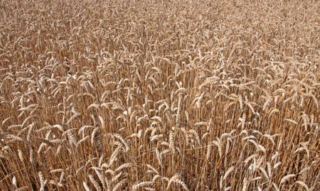 Wheat field background Stock Photo - 9646434