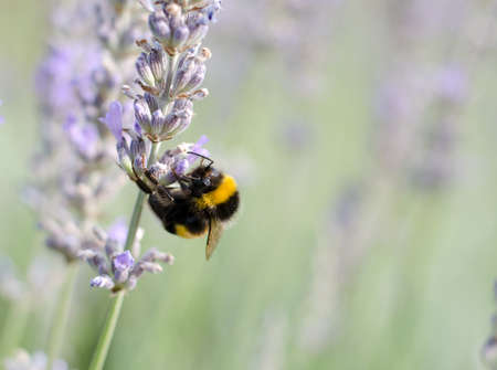 Bee on lavender plant photo