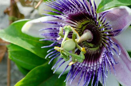 Single passie bloem close-up