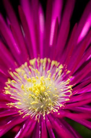 iceplant: Macro shot of a single ice plant flower