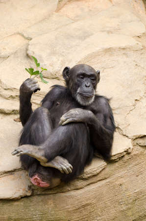 chilled out: Chimpanzee with sprig of leaves relaxing in a zoo
