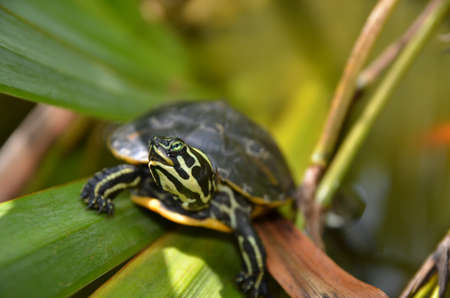 carapace: Yellow bellied slider turtle in a mediterranean pond