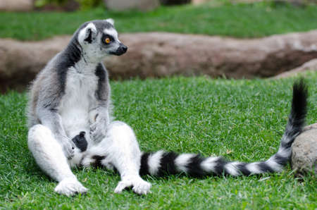 ring tailed: Ring Tailed lemur in captivity Stock Photo