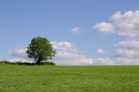 Einzelne Baum in einem großen grünen Feld mit blauem Himmel Standard-Bild