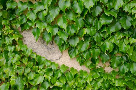 Virginia creeper growing on a stone wall Stock Photo