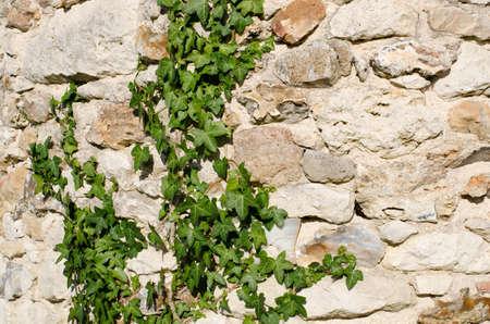 Efeu wächst eine alte Steinmauer auf Standard-Bild