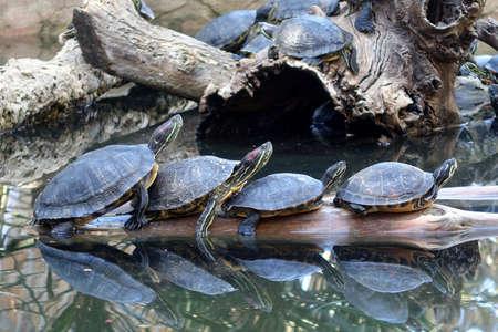 Red Eared Slider Turtles Sonnenbaden auf einem Baumstamm Standard-Bild