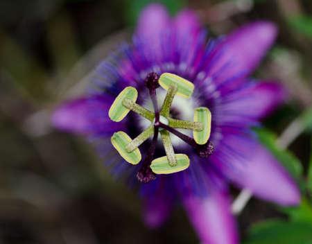 Close up of the stamen of a purple passion flower Standard-Bild