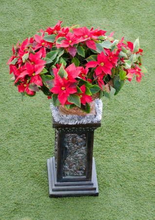 Lots of poinsettias in a pot in the garden Standard-Bild