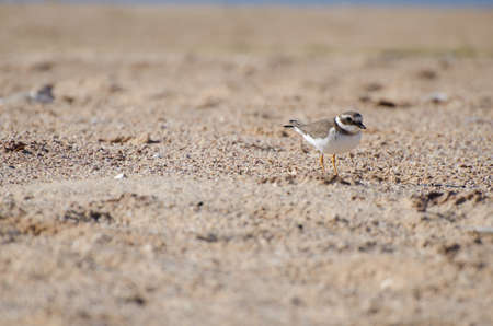 Ringed plover near the sea in portugal