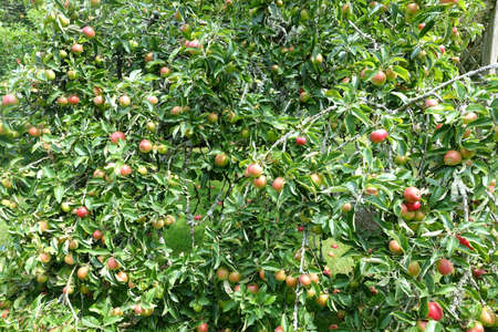 Lots of red apples on an apple tree