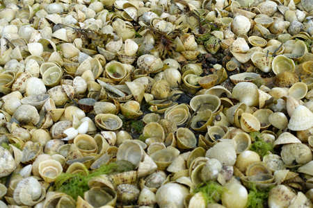 Piles of empty limpet shells revealed by low tide in Jersey, Channel islands