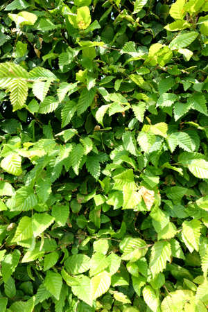 Green background consisting of a section of a beech hedge