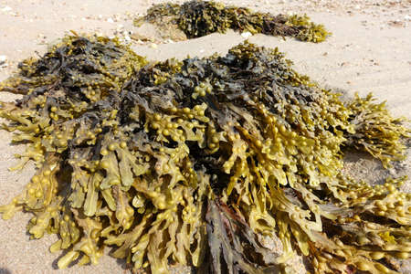 Piles of bladderwrack on a beach in Jersey, Channel Islands at low tide