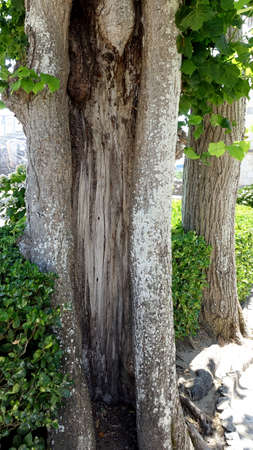 The hollowed out trunk of a very old tree