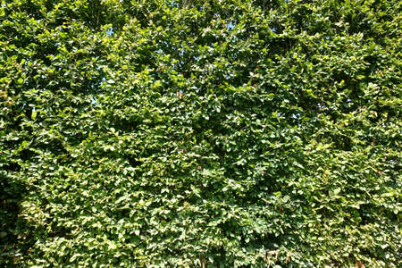 Green background consisting of a very  tall green beech hedge Фото со стока