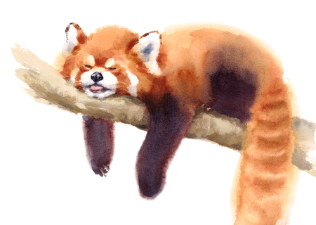 Watercolor Red Panda Sleeping on the Branch Hand Drawn Animal Illustration isolated on white background