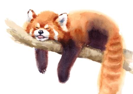 Waterverf Rode Pandaslaap op de Takhand Getrokken Dierlijke die Illustratie op witte achtergrond wordt geïsoleerd Stockfoto