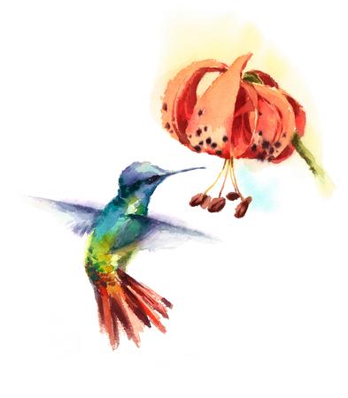 Aquarel vogel kolibrie drinken nectar uit Tiger Lily bloem Hand getrokken zomer tuin illustratie geïsoleerd op een witte achtergrond