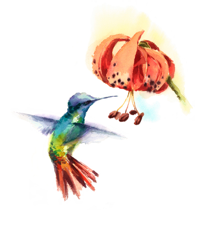 Watercolor Bird Hummingbird Drinking Nectar out of Tiger Lily Flower Hand Drawn Summer Garden Illustration isolated on white background